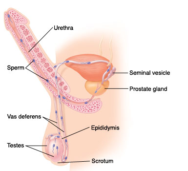 Cutaway view of male reproductive system