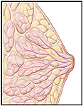 Cutaway view of normal breast