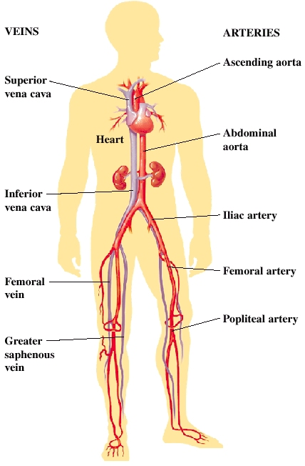 Image of heart vessels