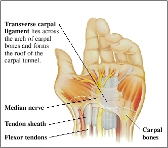 Cutaway view of hand